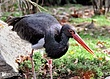 Red-Billed-Stork-2.jpg