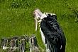 Wood-Stork-1.jpg