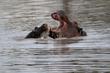 IMG_0765_Baby_andMom_Hippos.jpg