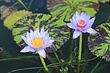 IMG_3298 Beautiful water lily at complex.jpg