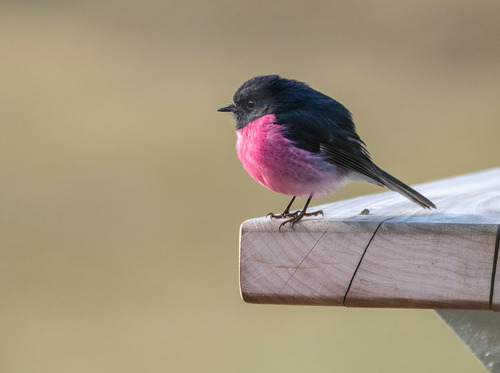 birds a Pink Robin 2 DSC_1155.jpg
