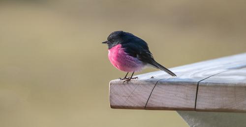 birds a pink robin coverDSC_1155.jpg