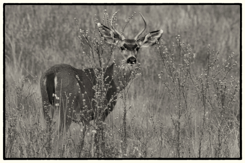 Black-tailed Mule Deer.jpg :: Black-tailed Mule Deer - Point Lobos State Natural Reserve