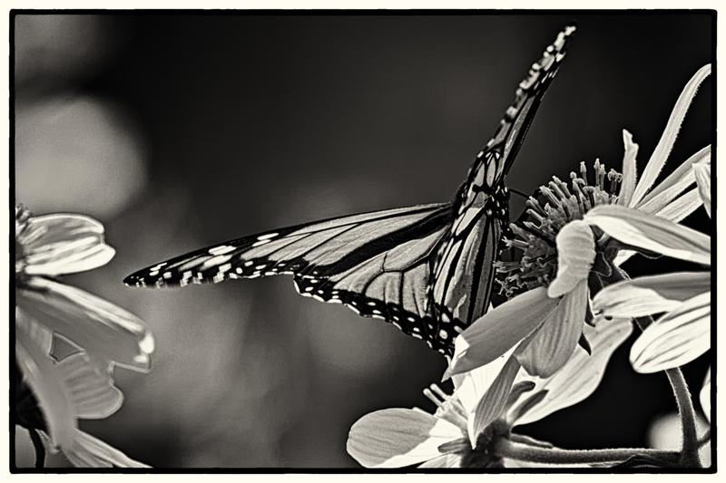 Monarch Butterfly.jpg :: Monarch Butterfly - Monarch Butterfly Sanctuary