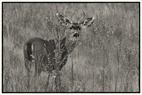 Black-tailed Mule Deer.jpg