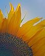 6976 sunflower.jpg