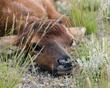 baby elk in hiding DSC_2488.jpg