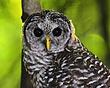 bard owl  DSC_9060-800x600.jpg