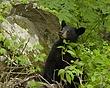 black bear DSC_1799.jpg