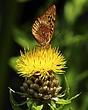 butterfly  armenian basket flower DSC_6030-800x6001.jpg