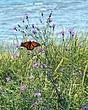 butterfly shoreline DSC_3046.jpg