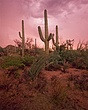 cactus 3  storm DSC_0054 copy (Medium).jpg