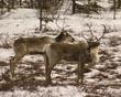 caribou DSC_8483.jpg