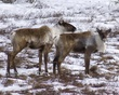caribou DSC_8484.jpg