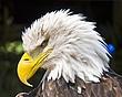 eagle (Large).jpg