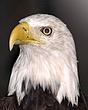 eagle DSC_3816.jpg