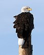 eagle DSC_66561.jpg