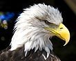 eagle bad day at office (Large).jpg