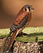 American Kestrel-174-Edit.jpg
