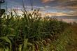A-maize-ing.jpg