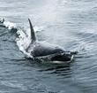 killer whales 016.jpg