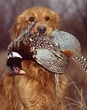 Golden Retreiver with Pheasant.jpg