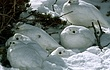 How many Ptarmigan.jpg