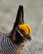 Prairie Chicken Portrait.jpg
