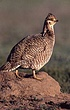 Prairie Chicken on Mound.jpg