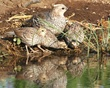 Scaled Hen and Chick.jpg