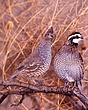 Scaled and bobwhite 2.jpg