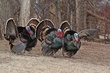 Wild Turkeys 3.jpg