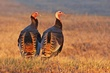 Wild Turkeys 4.jpg