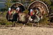 Wild Turkeys 5.jpg