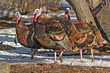 Wild Turkeys 6.jpg