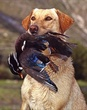Yellow Lab Wood Duck.jpg