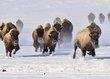 buffalo 004.jpg