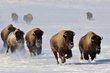 buffalo 010.jpg