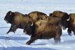 buffalo 032.jpg